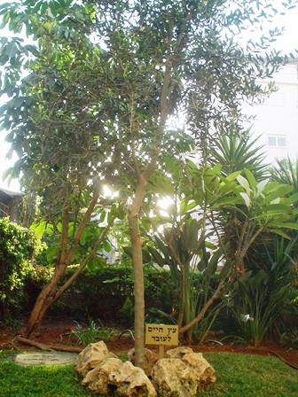 עץ חיים ניטע בחצר בית הוריו ברחובות